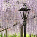XMAXでお散歩 津島・天王川公園の藤